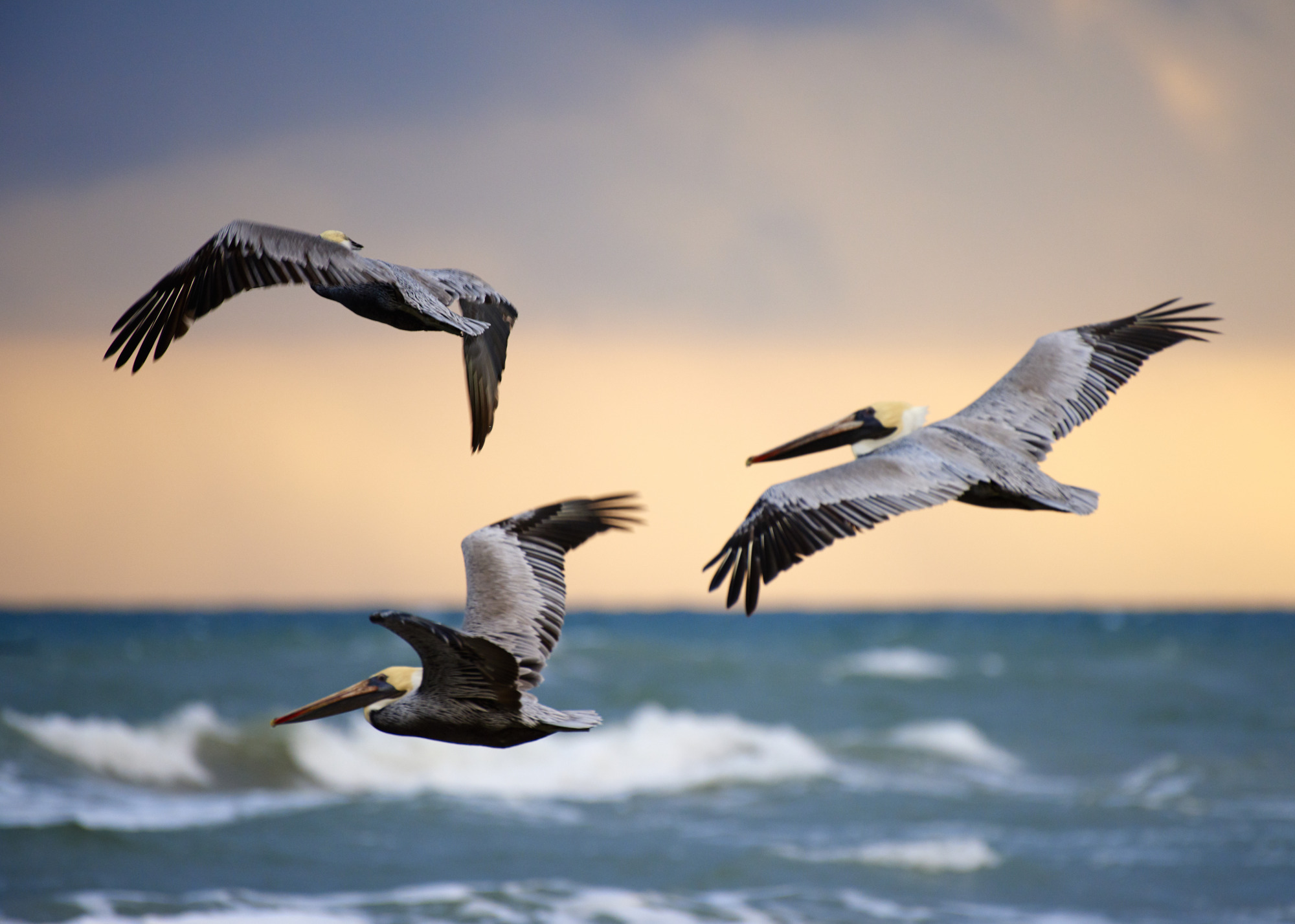 Brown Pelicans at Sunrise - Padre Island National Seashore - Wildlife Photography - Austin Wildlife Photographer