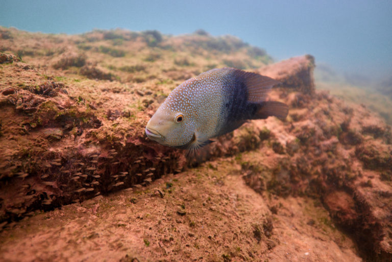 Adult Sunfish with Fry