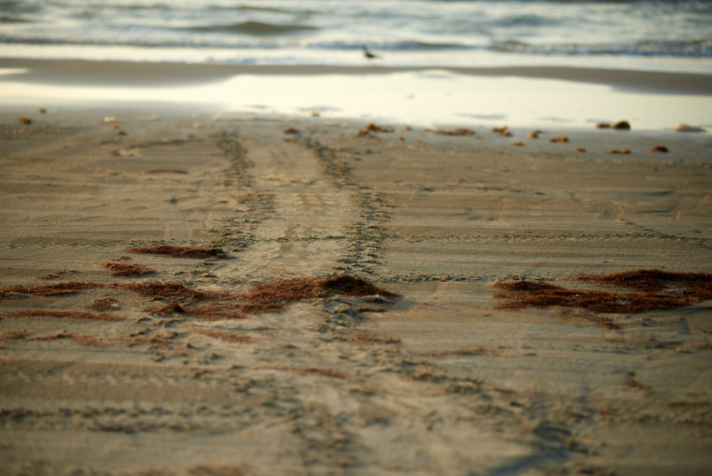 Green Sea Turtle Tracks Leading to a New Nest of Eggs