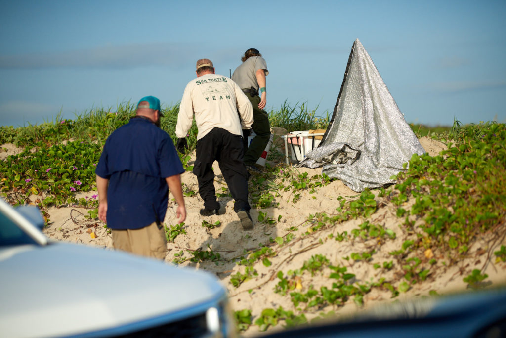 Padre Island - Turtle Patrol - Green Sea Turtle Nest - National Park Service Bologist and Volunteers Remove Eggs to Saftey