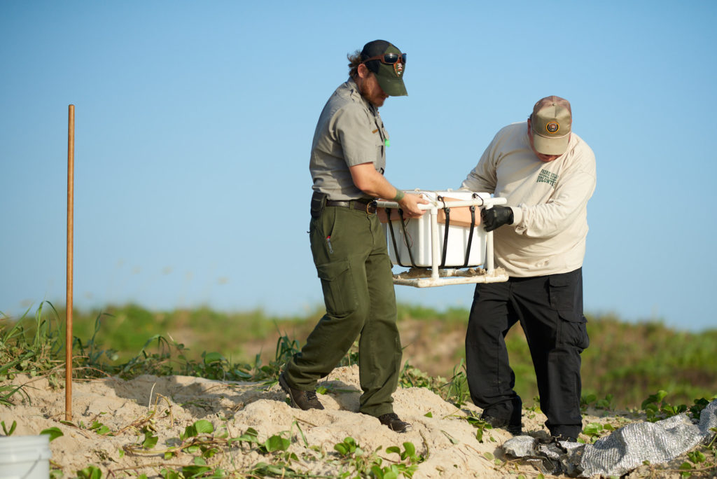 Padre Island - Turtle Patrol - Green Sea Turtle Nest - NPS and Volunteer Carry Eggs to Vehicle