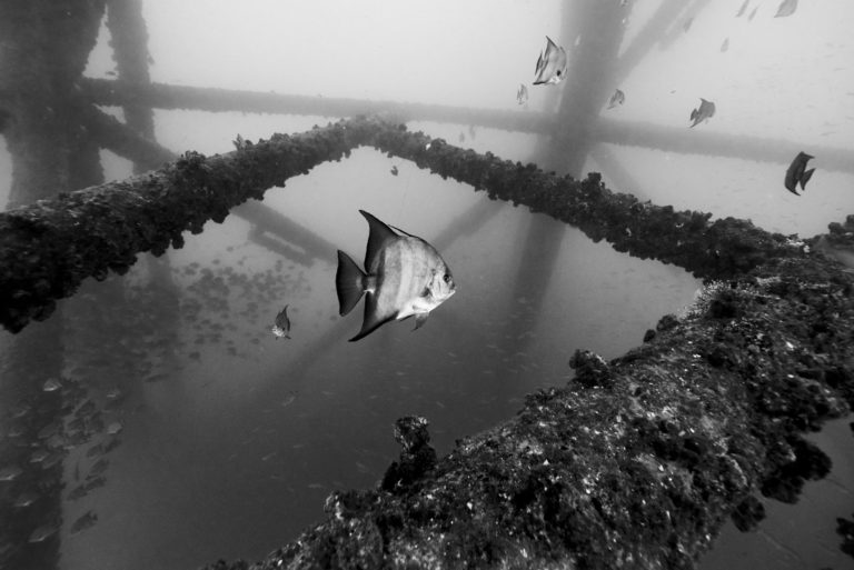 Texas Rig Diving Trip - Underwater Photography - Atlantic Spade Fish