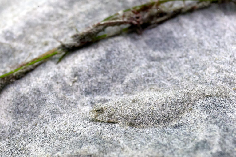 A tiny flouder hiding in the sand.
