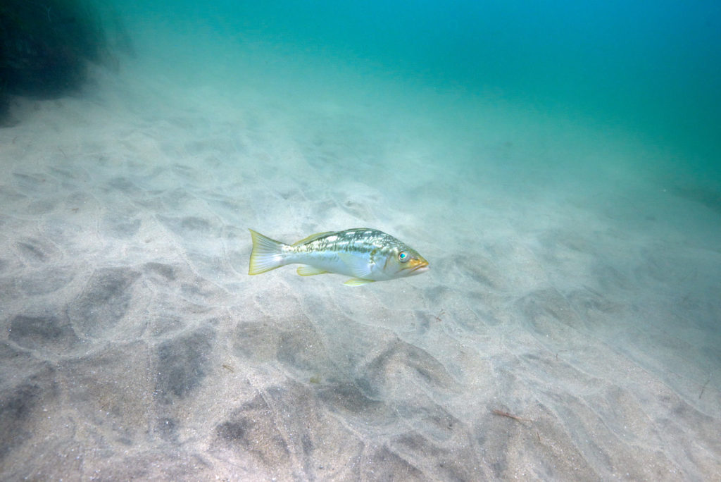 La Jolla Cove Diving - Sea Bass on the Sand Flats