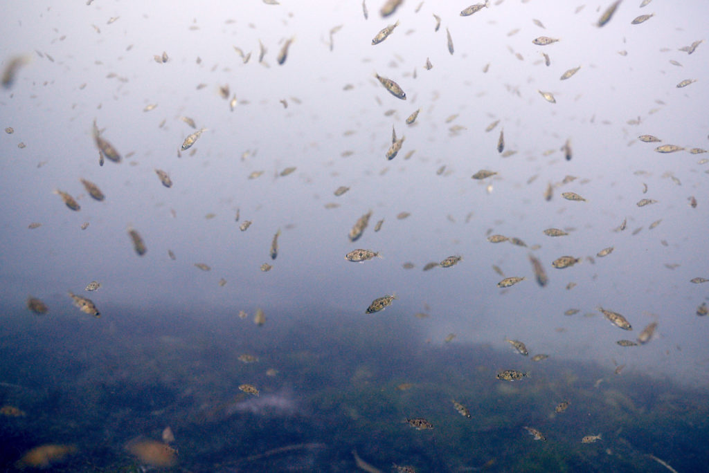 A school of small fish above a mat of dead sea grass and kelp.