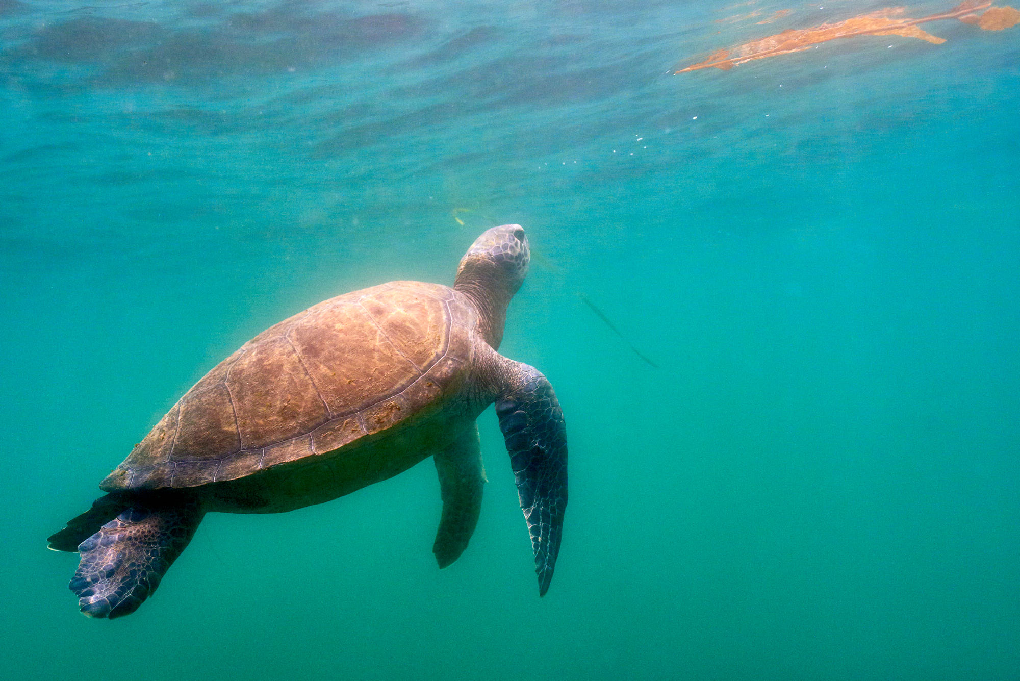 A Green Sea Turtle heads to the surface for air.