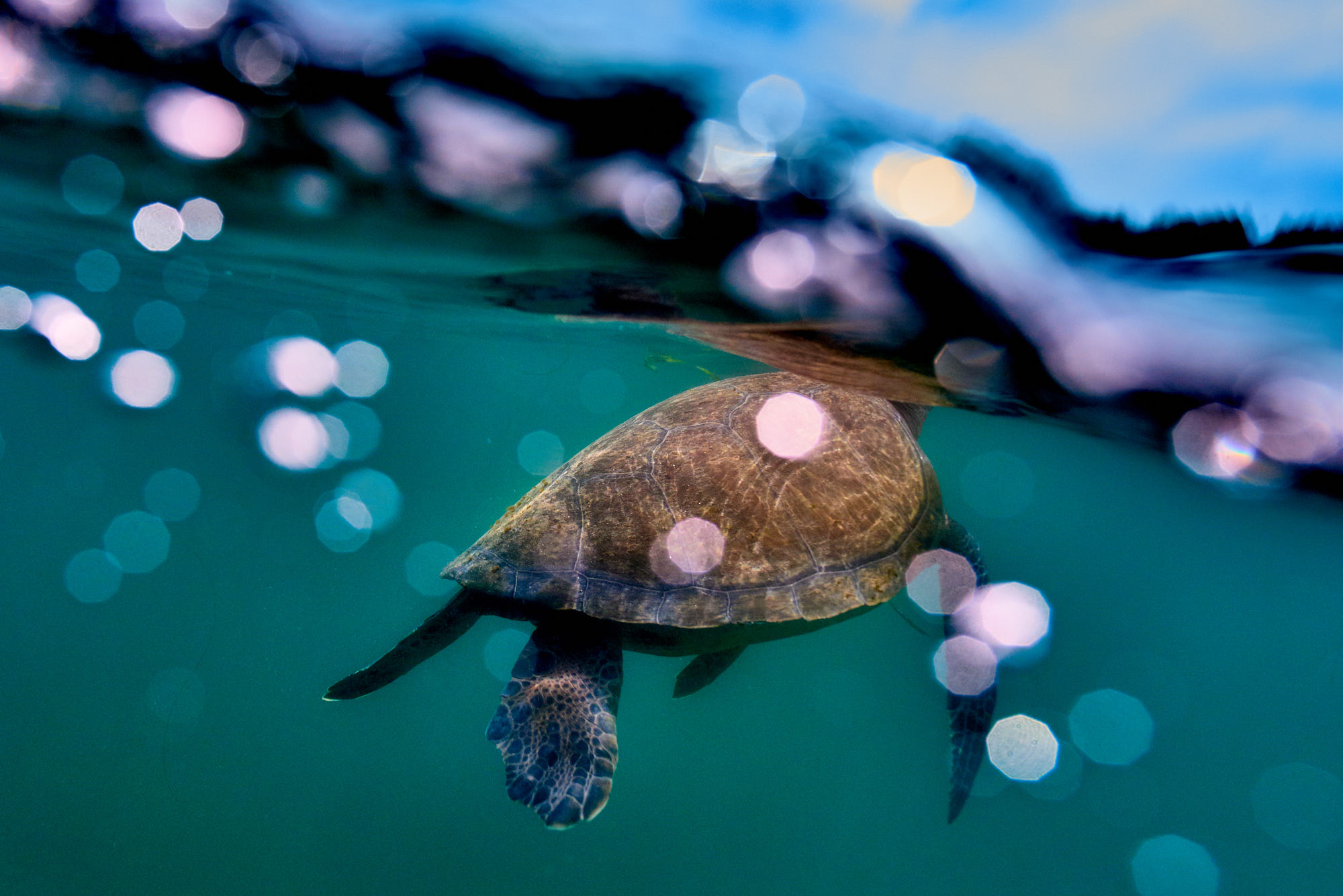 A Green Sea Turtle grabs a breath of air.