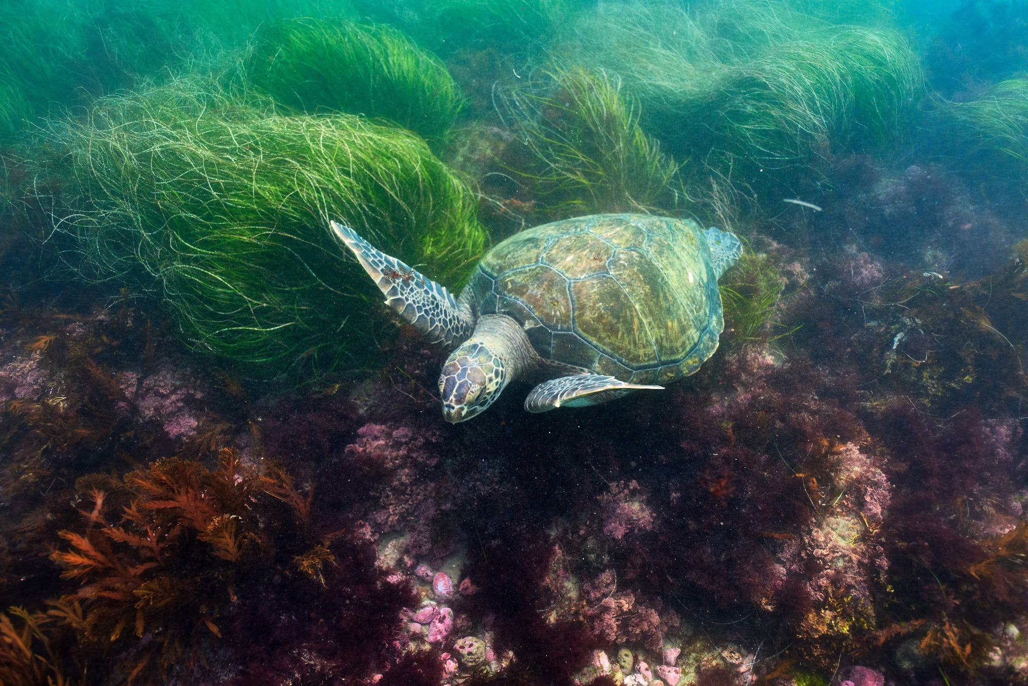 A Green Sea Turtle Swims over Grass and Kelp