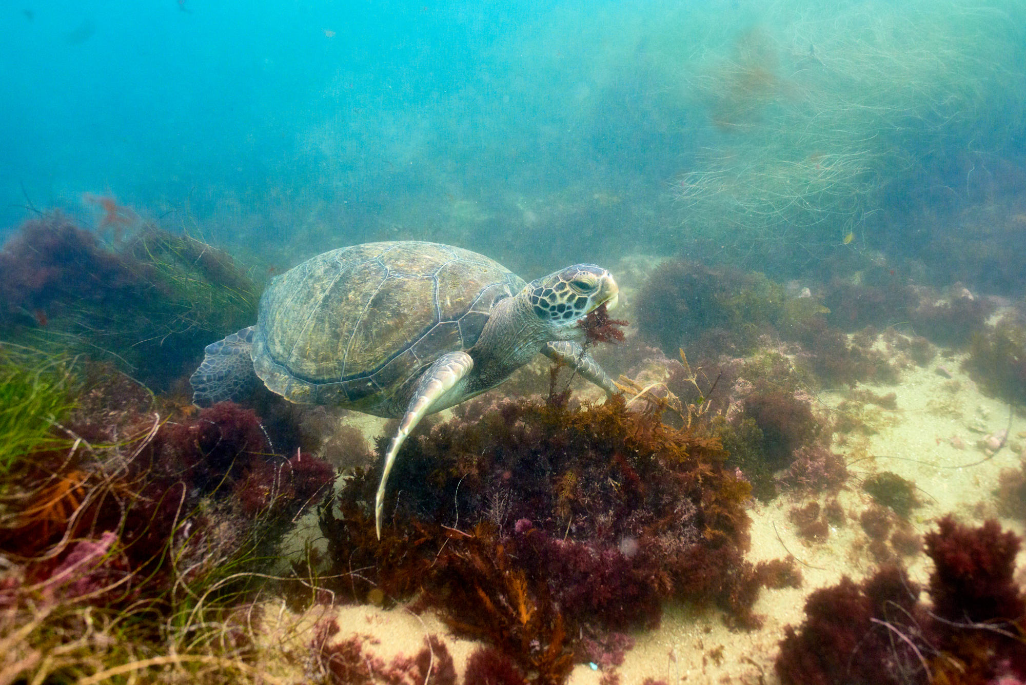 A Green Sea Turtle Eat Kelp - La Jolla Snorkelling