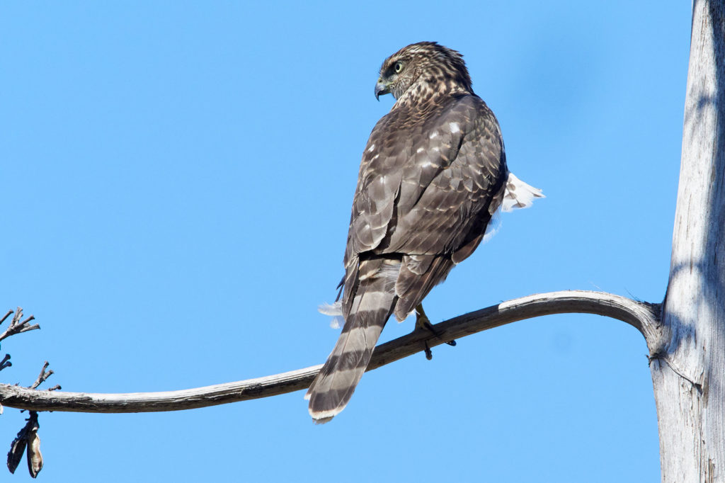 Coopers Hawk - San Diego - Bird Photography=