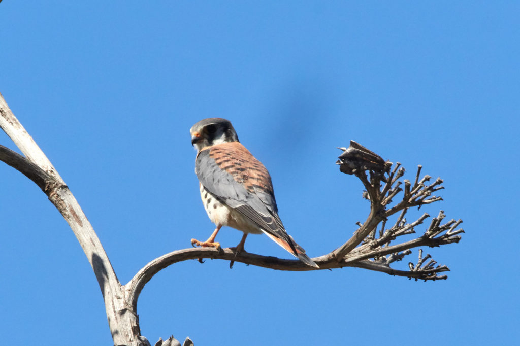 Male American Kestrel - San Diego - Bird Photography