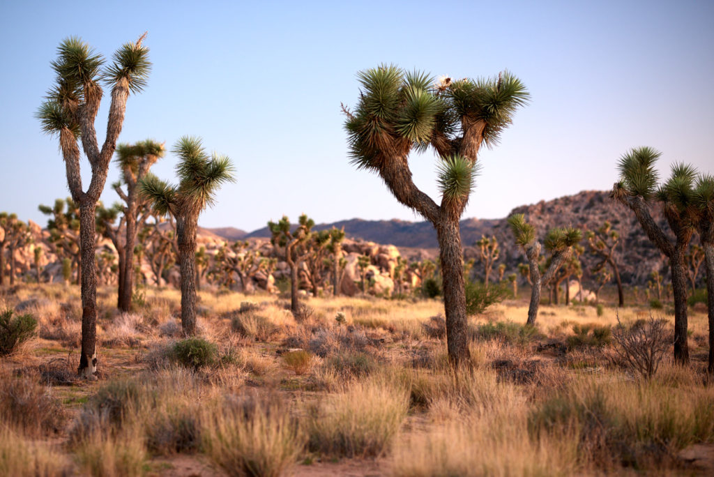 A stand of joshua trees at sunrise.