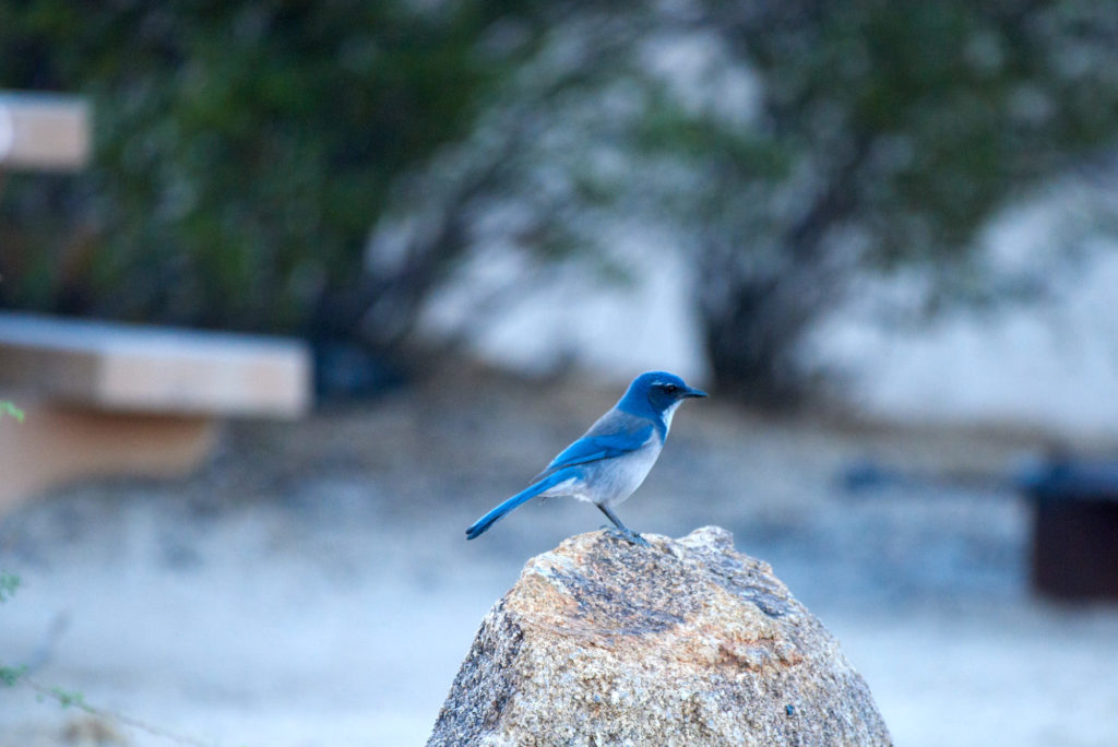 Beautiful Rock Jay in my campsite at Joshua Tree NP Jumbo Rocks Camp Ground
