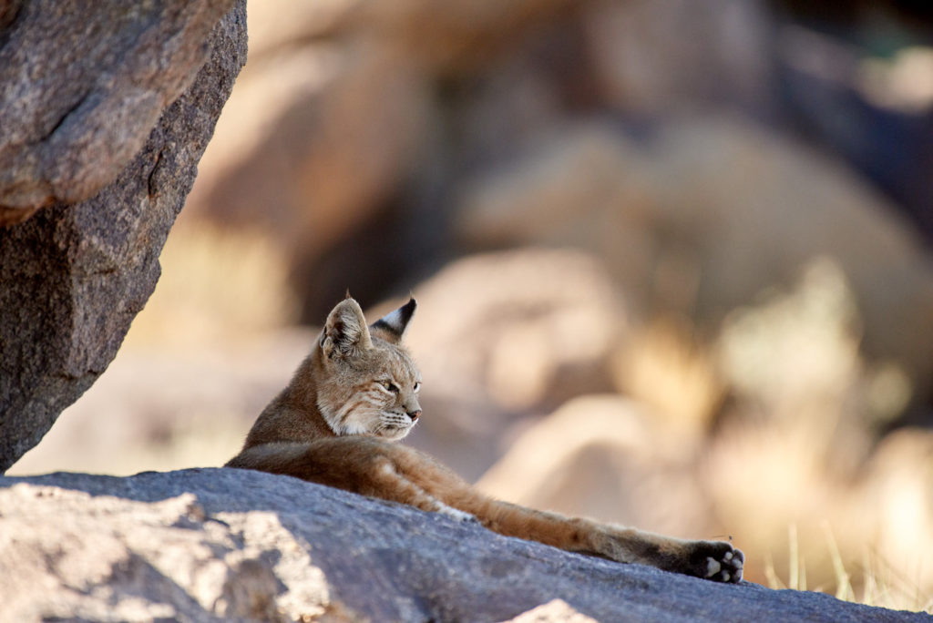 A bobcat (lynx rufus) chilling on a rock in Joshua Tree National Park