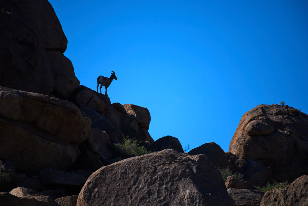 Bighorn sheep on the rocks at Joshua Tree National Park.