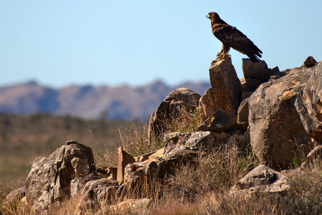 A golden eagle purches on rocks in the morning sun at Joshua Tree National Park