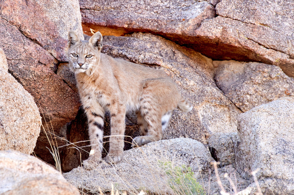 A bobcat among the rocks at Joshua Tree National Monument