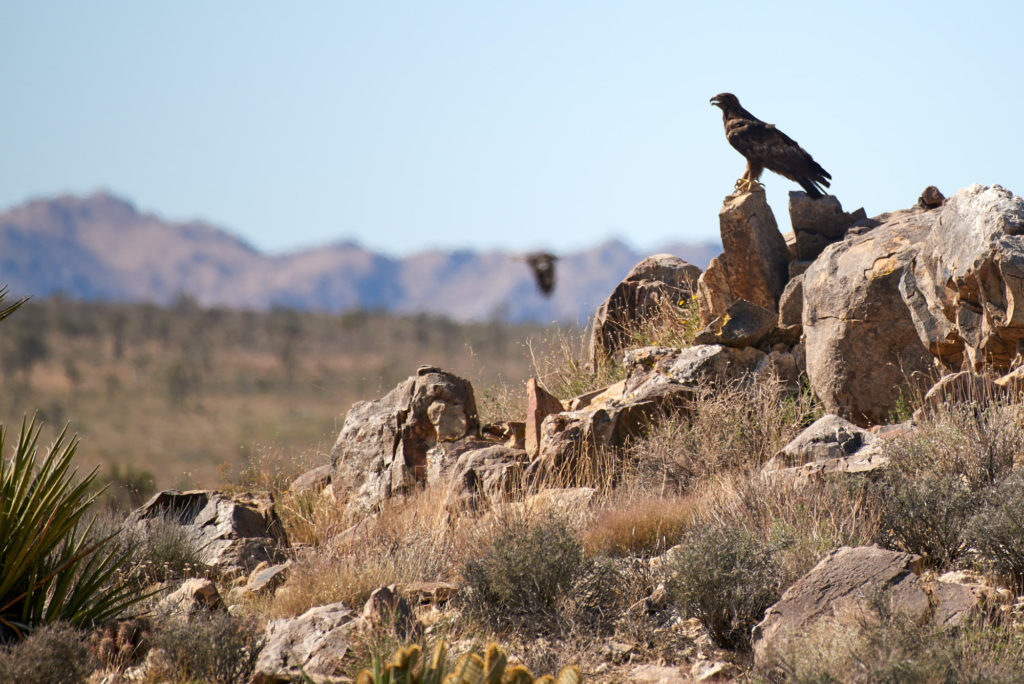 The blur in the background is a second golden eagle flying by. It has large whitish patches on it's wings and tail where as the foreground bird had mostly dark.