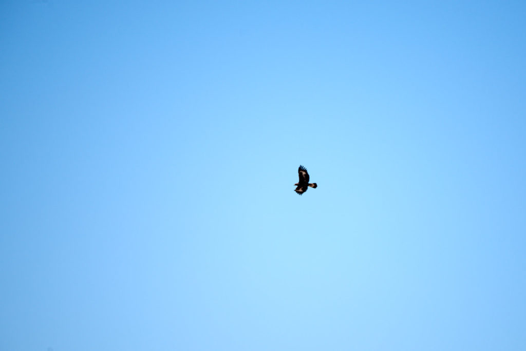 Distant second golden eagle at Joshua Tree National Park