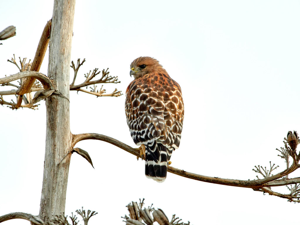 Red Shoulder Hawk - San Diego - Bird Photography