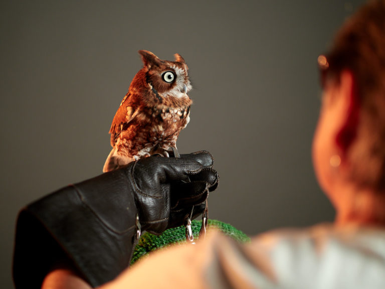 Eastern Screech Owl from Blackland Prairie Raptor Center - Olympus Camera Raptor Day at Precision Camera in Austin, Tx.