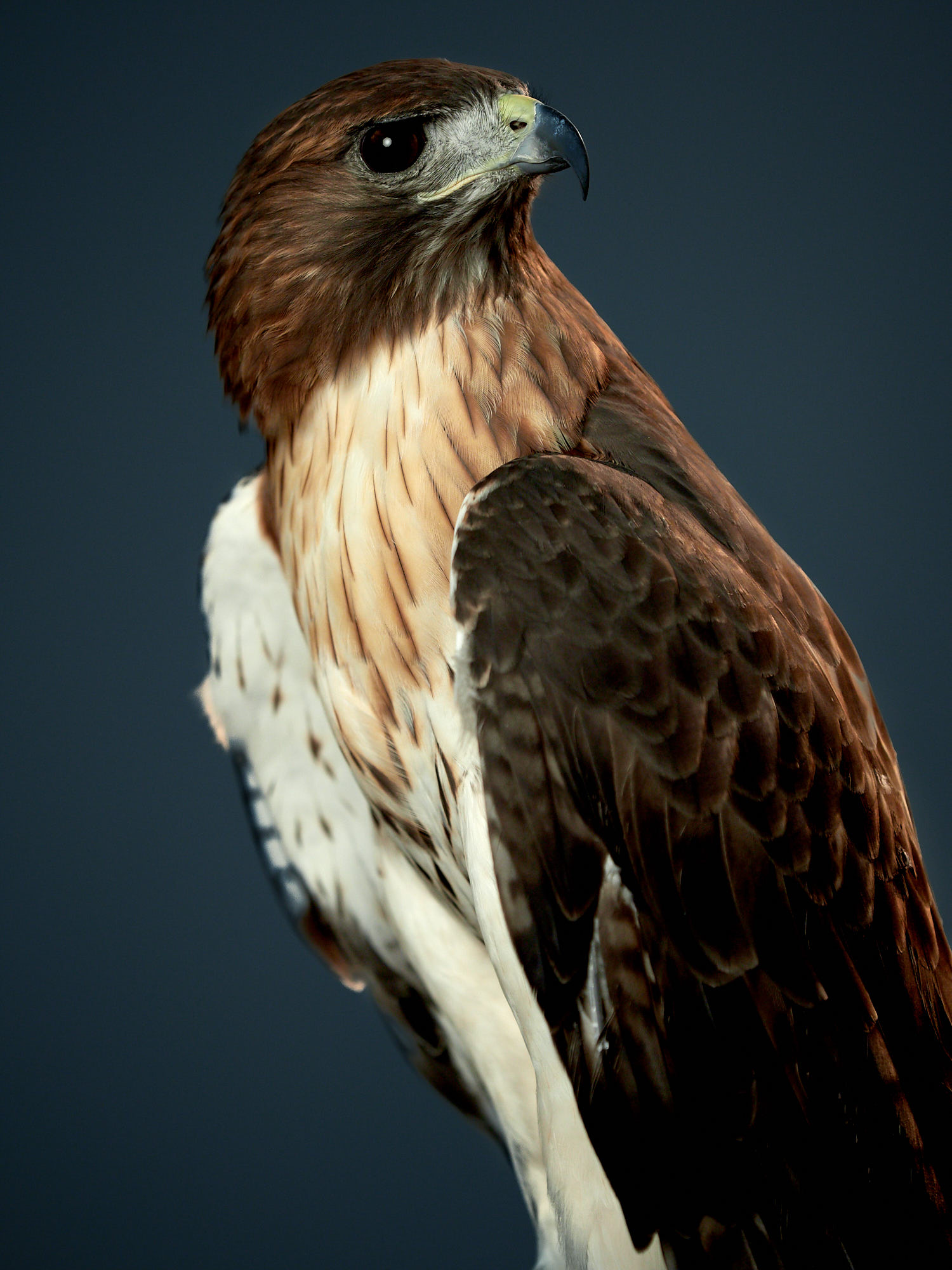 Red Tail Hawk from Blackland Prairie Raptor Center - Olympus Camera Raptor Day at Precision Camera in Austin, Tx.