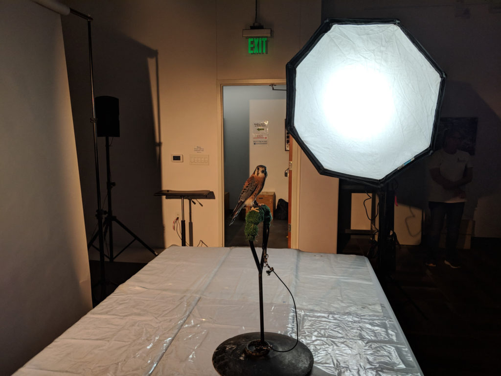American Kestrel and lighting setup.