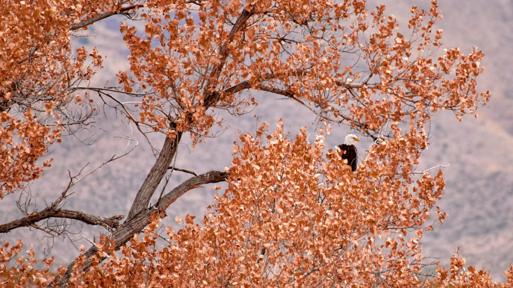 A mature bald eagle sitting in a tree.