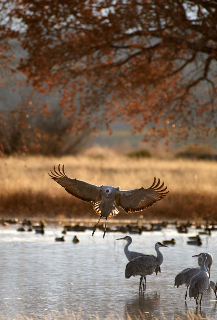 A sandhill crane comes in for a water landing with glowing wings backlit by the sun with a fall colored tree in the background.