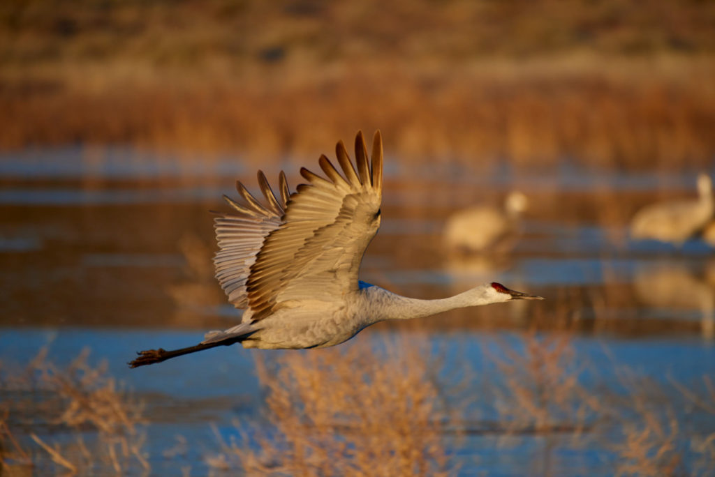 A sharp photo of a sandhill crane flying in crisp dawn light.