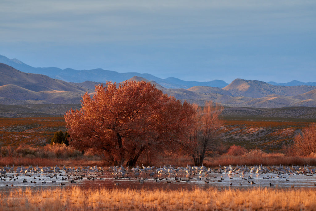 Sandhill cranes sit in marsh water in Bosque del Apache National Wildlife Refuge in New Mexico. A cottonwood tree is in full fall color.