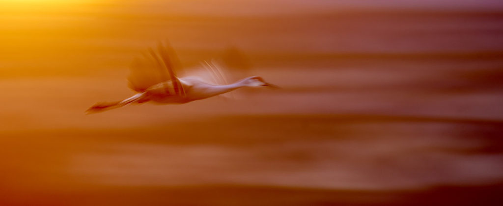 A crane flying out of a sun flare near sunet.