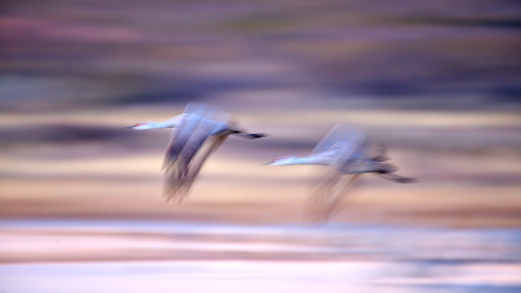 Sandhill Cranes flying in a pair at dawn. Abstract and blurry.