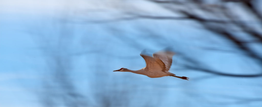 A sandhill crane glide through a gap in the trees in a panning photo.