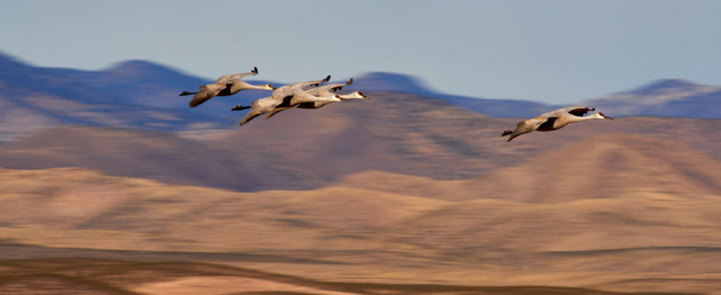 4  Sandhill cranes glide through the air infront of the mountains of New Mexico.