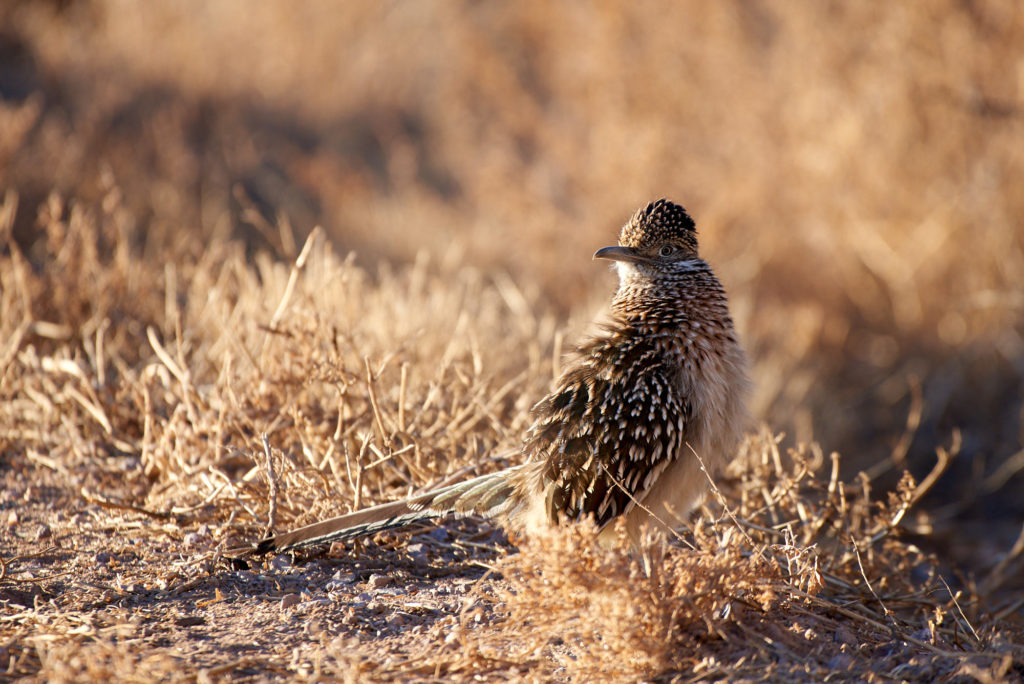 A road runner on the side of the road.
