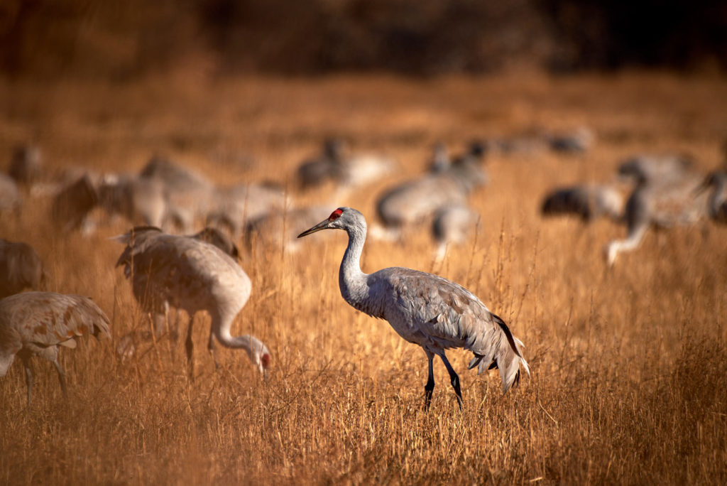 A sandhill crane forages among the grass table in a field with many other cranes.