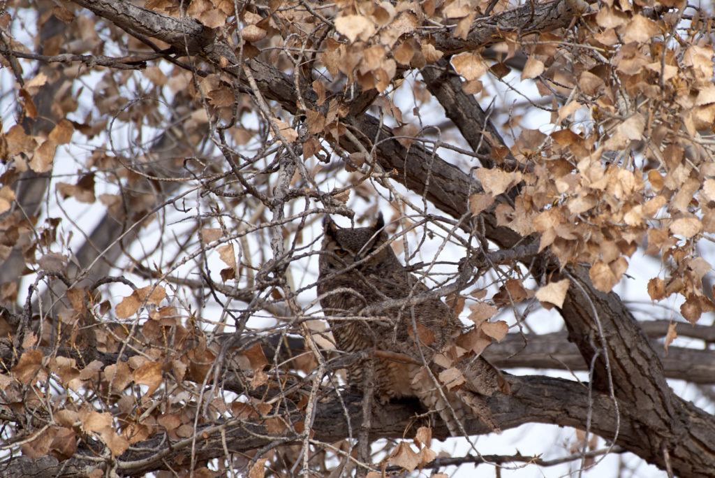 A great horned owl sits hidden deep in a tree.