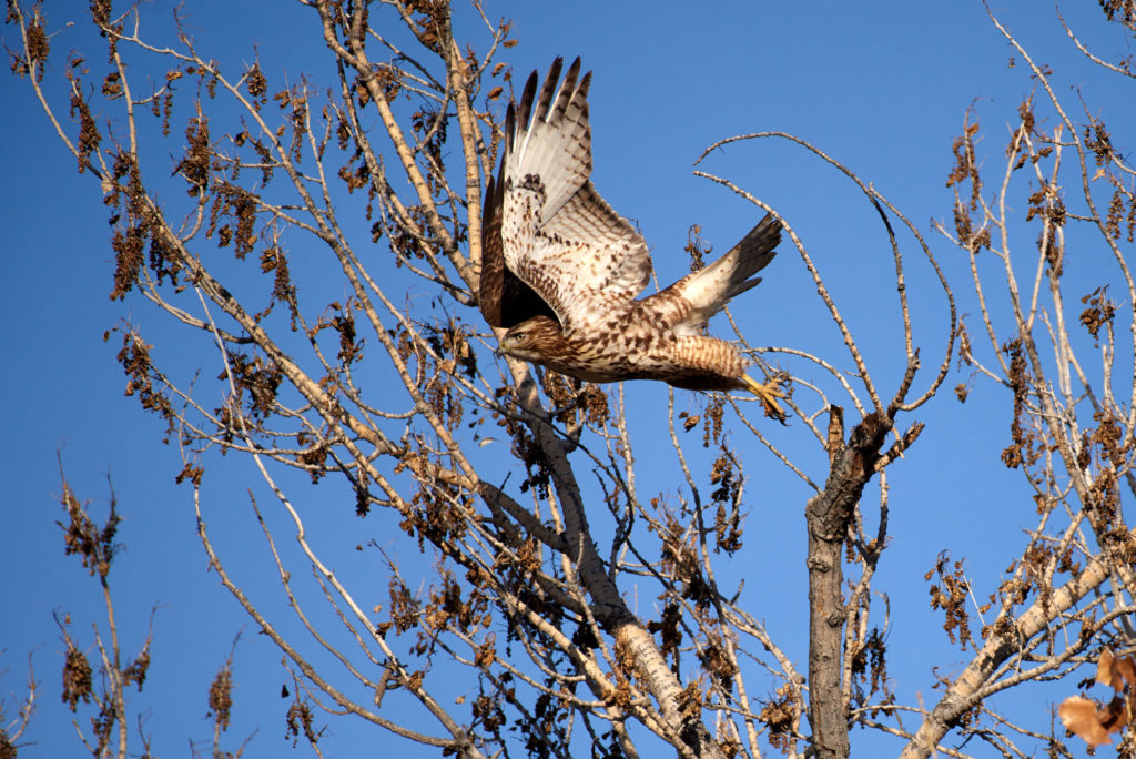 A red shouldered hawk leaps into the air from a tree.