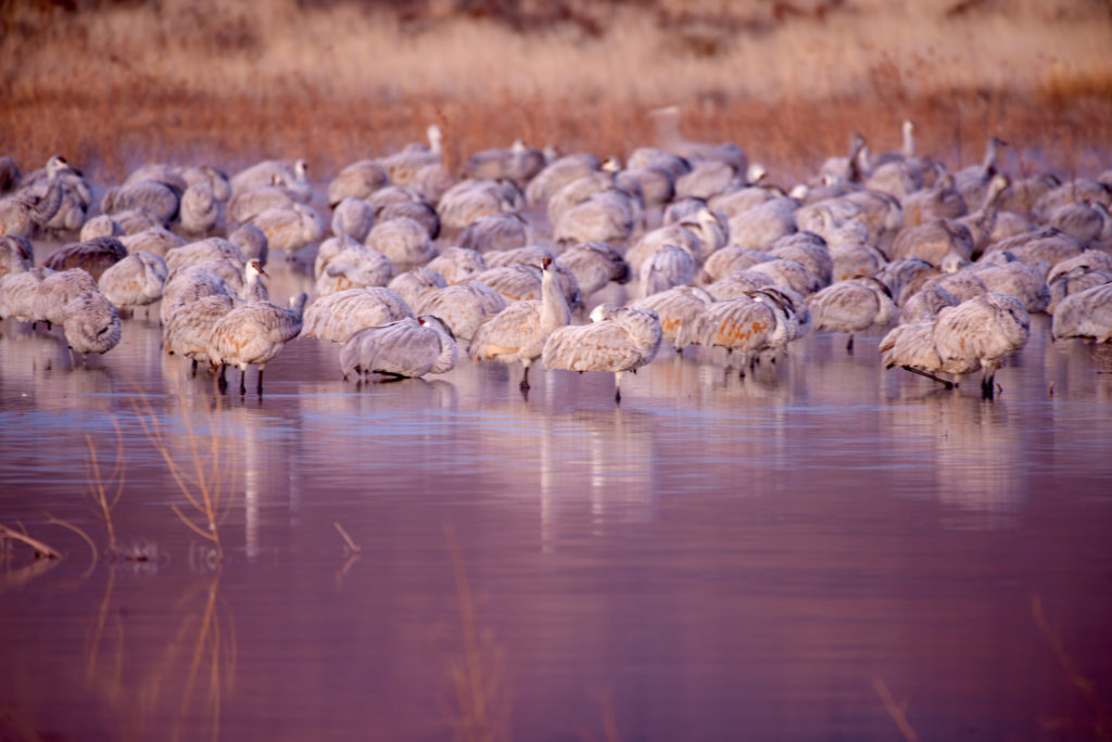Sandhill cranes sleeping before dawn at Bosque del Apache.