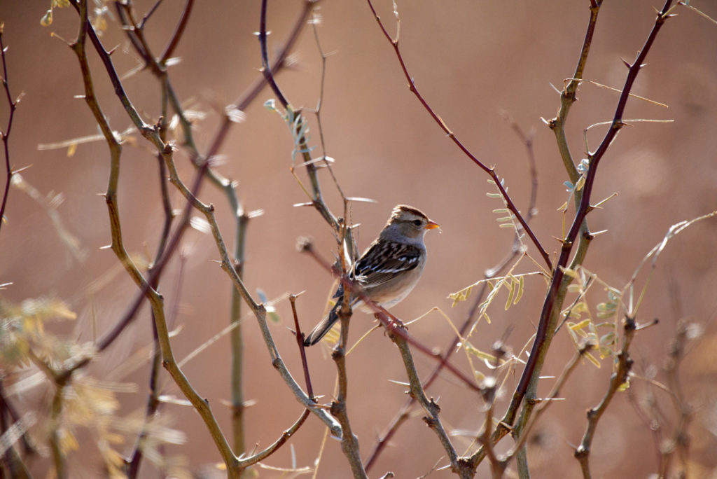 A small song bird in a mesquite tree.
