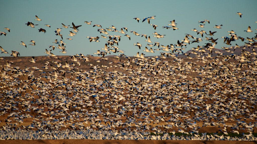1000s of geese take flight near sunset at Bosque del Apache.