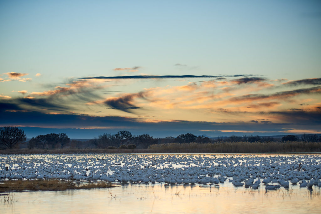 Snow geese sit on a small marshy lake at sunrise waiting to take flight.