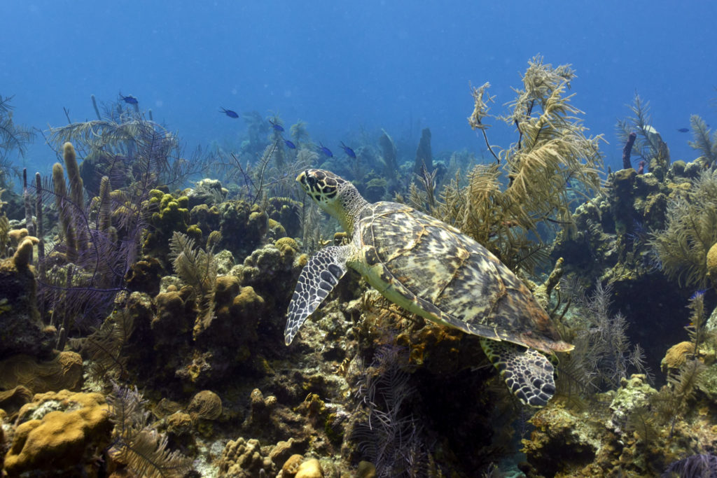 A hawksbill sea turtle swims over the reef in Belize.