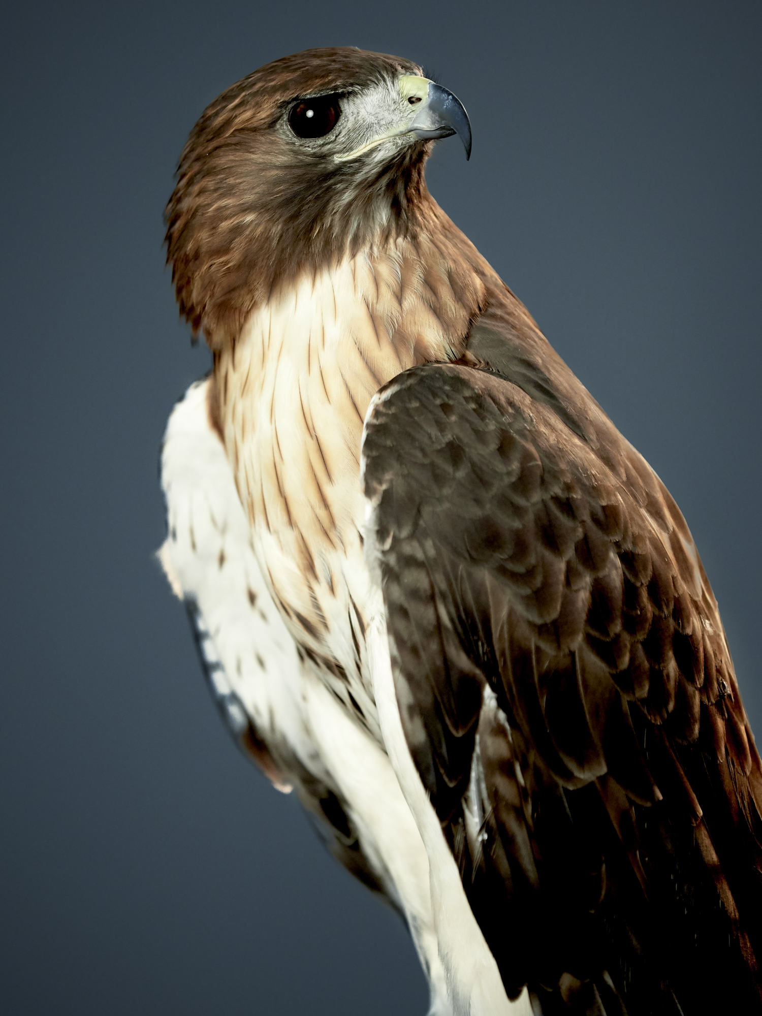 Red Tailed Hawk in the photo studio.