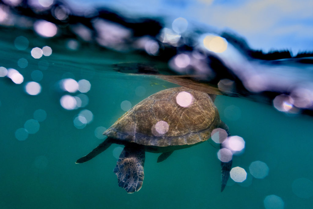 A sea turtle surfaces for air in the shallow water near The Marine Room in La Jolla.