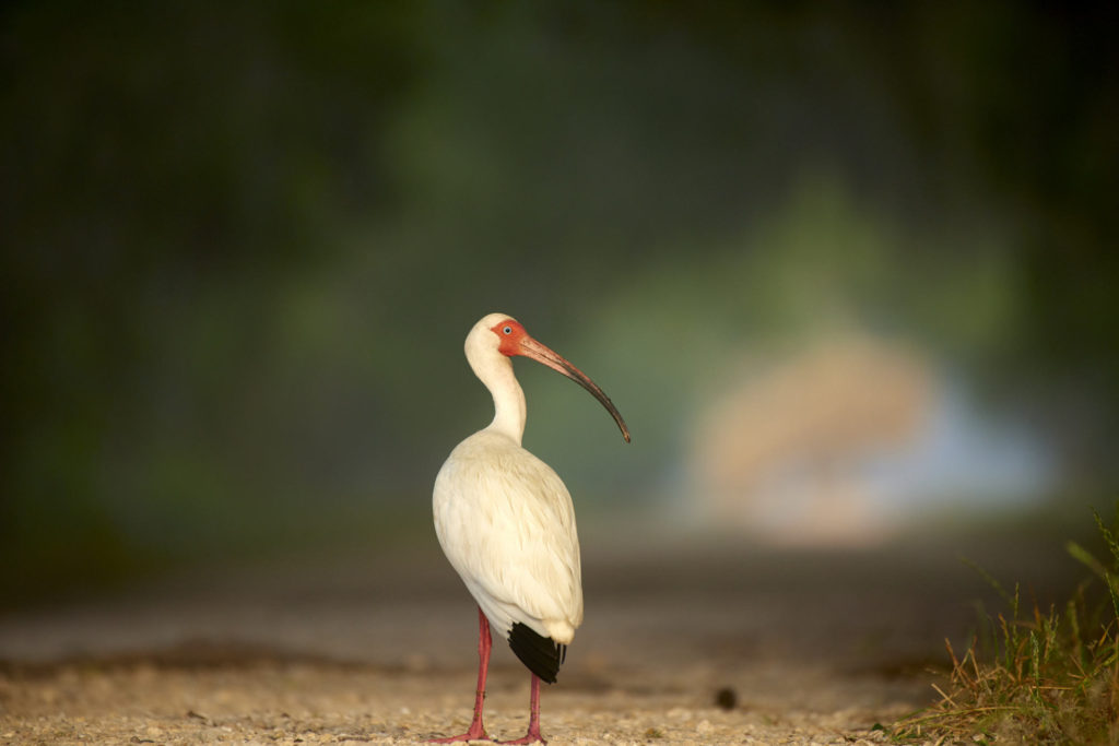 A white ibis in soft morning light at Brazos Bend SP in Texas.