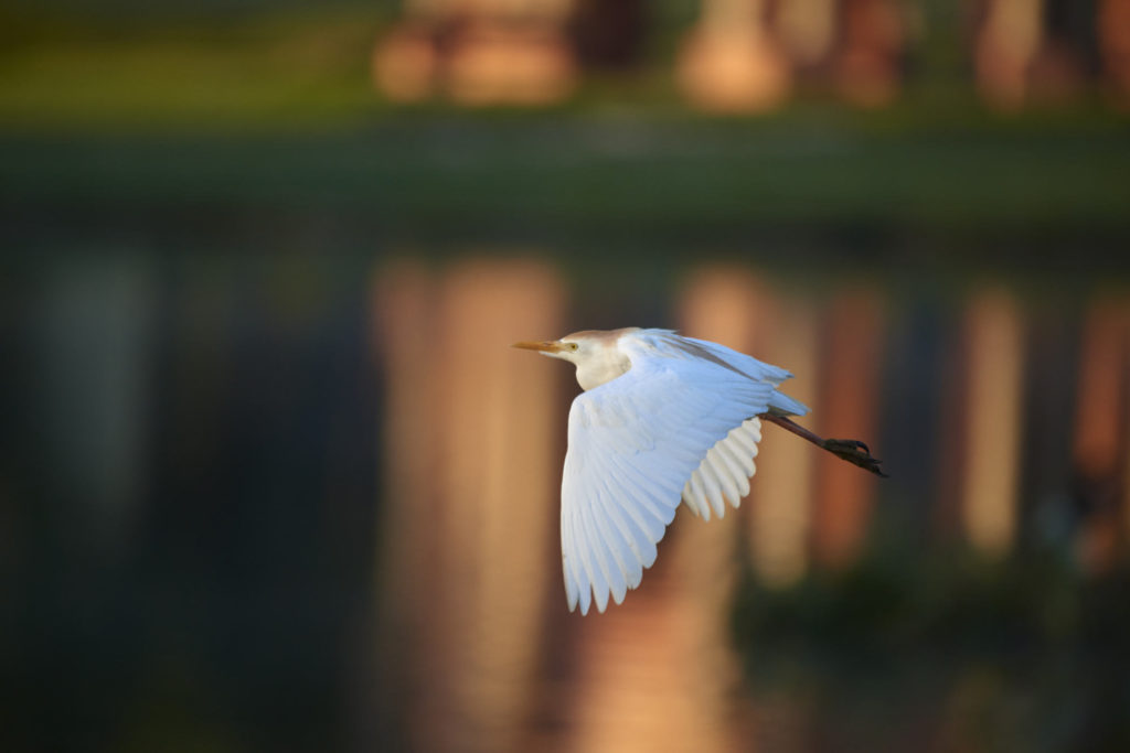 A Cattle Egret flies over Murphy park lake in Taylor.