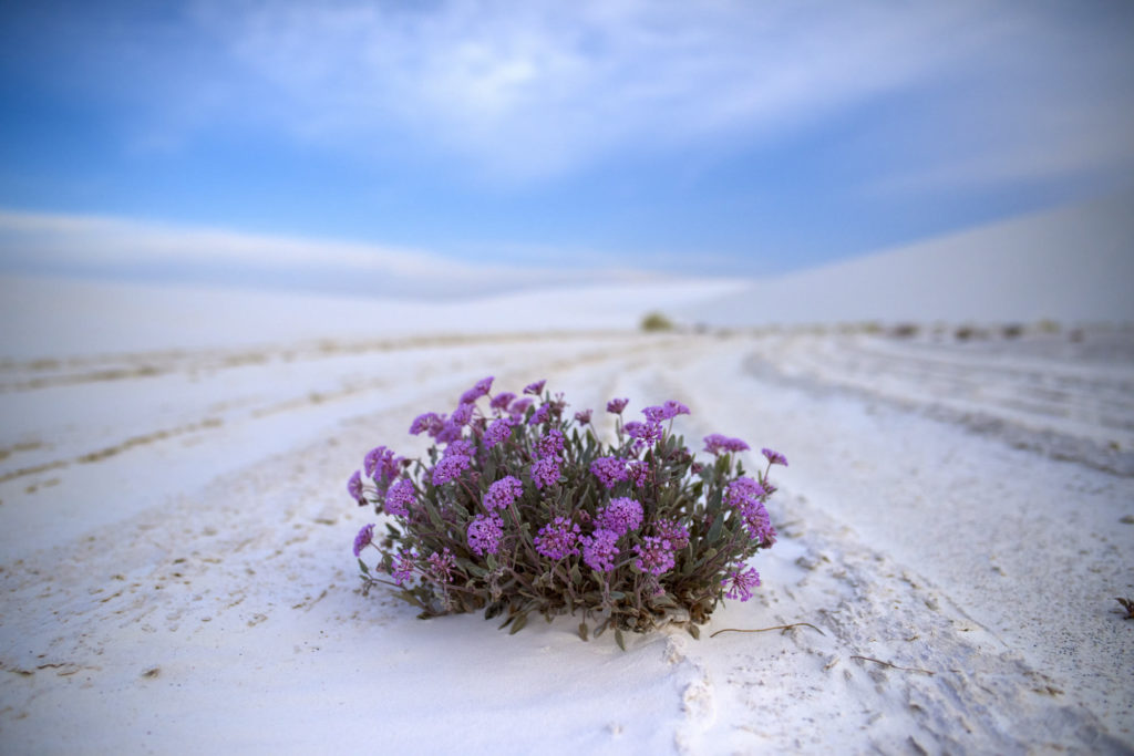Blooming flowers at White Sands National Monument.