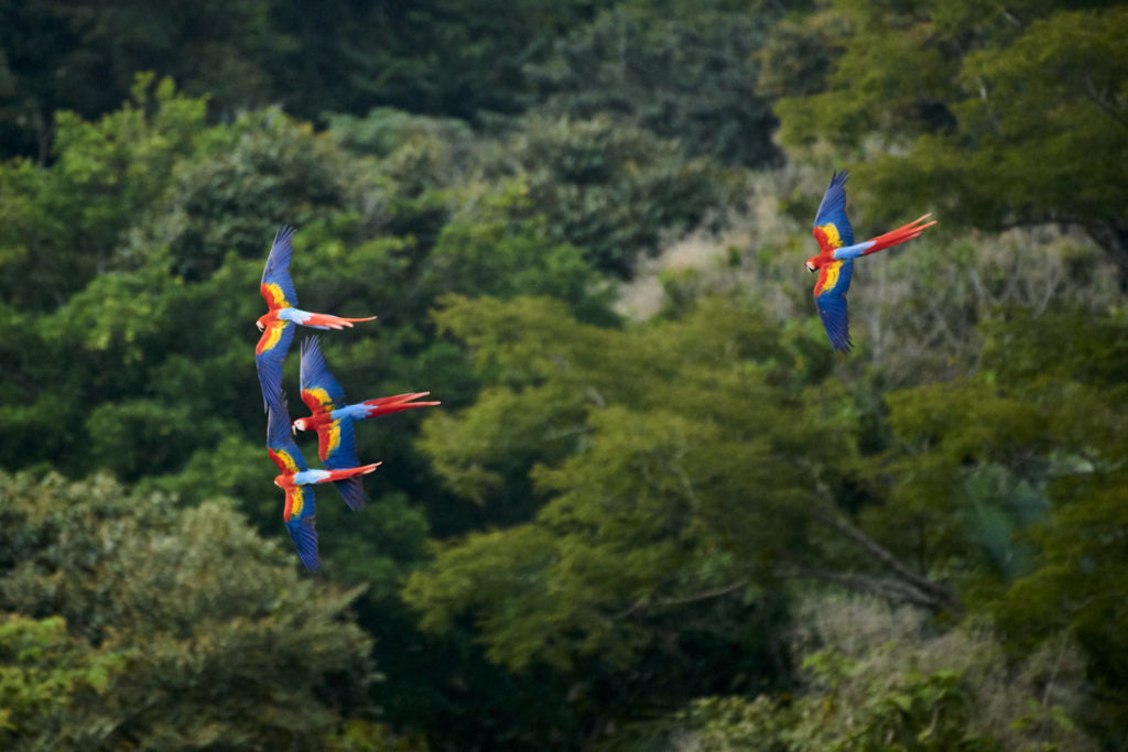 Scarlet Macaws flying over the rain forest in Costa Rica.
